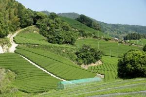Matcha Farm